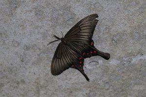 箕面山にいる蝶