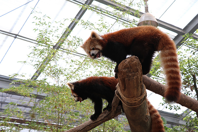 アジアの森 レッサーパンダ