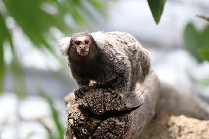 熱帯の森 コモンマーモセット