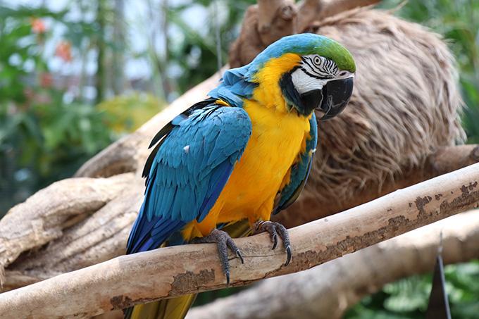 熱帯の森 ルリコンゴウインコ