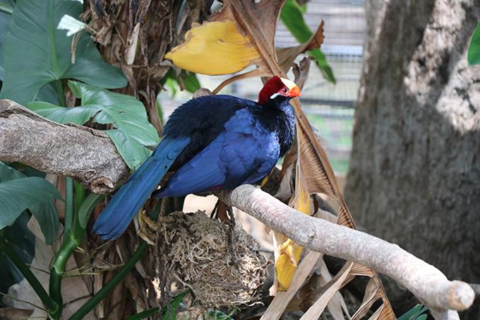 熱帯の森 ムラサキエボシドリ