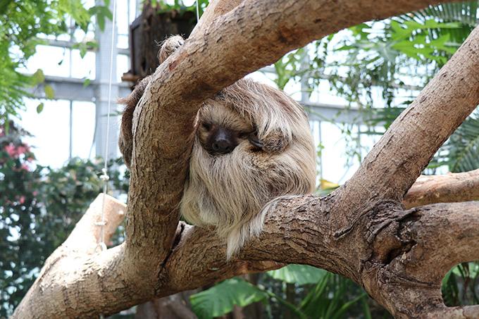 熱帯の森 フタユビナマケモノ