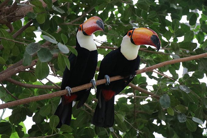 熱帯の森 オニオオハシ