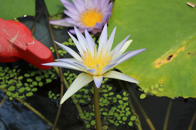 ウォーターリリーズ 花