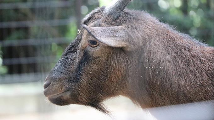 五月山動物園ヤギ