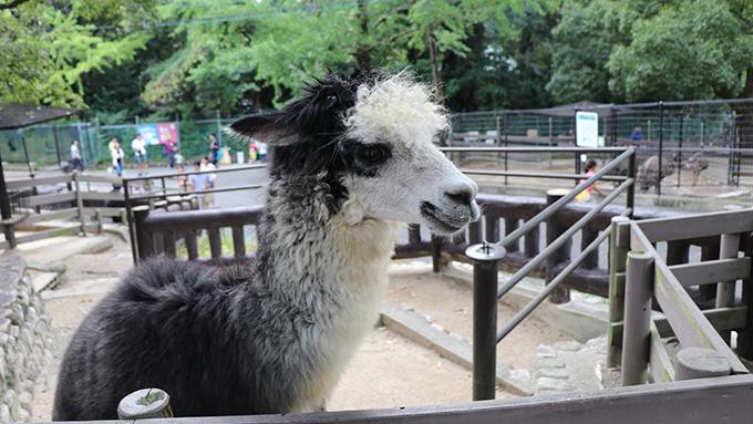 五月山動物園アルパカ