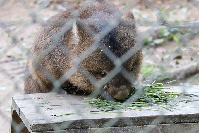 五月山動物園ウォンバット