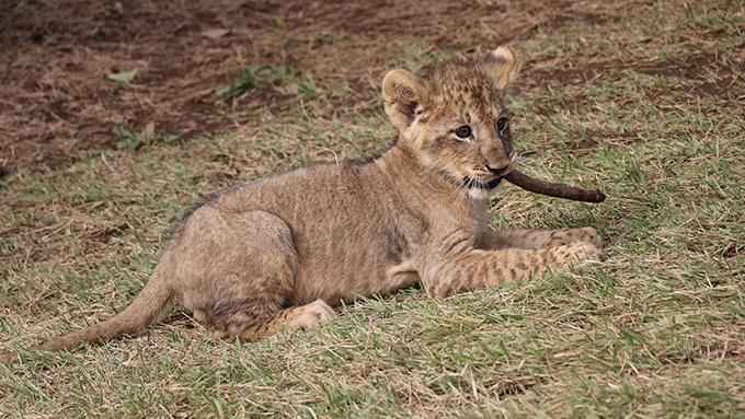ライオンの赤ちゃんが何かを加えているところ