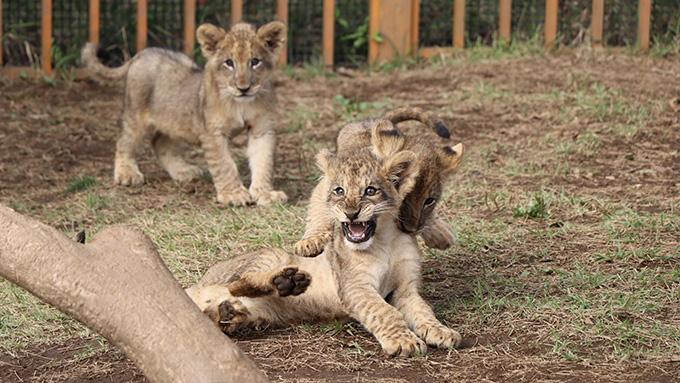 ライオンの赤ちゃんがたわむれているところ