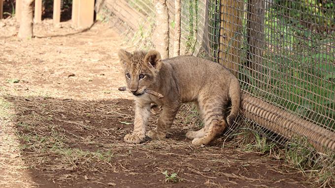 ライオンの赤ちゃんが歩く