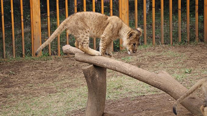 ライオンの赤ちゃん木の上
