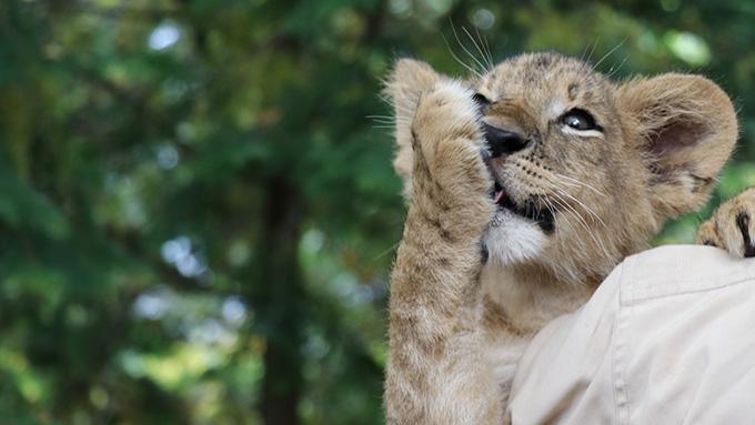 ライオンの赤ちゃん口を吹く
