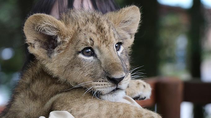 ライオンの赤ちゃん見つめる