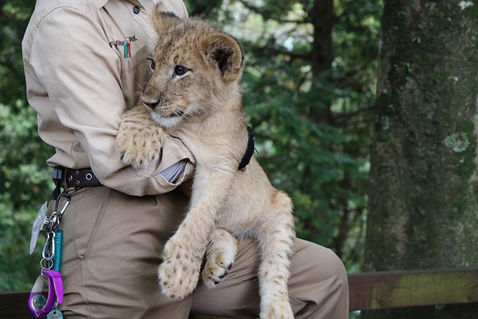 2ヶ月後に見に来た時のライオンの赤ちゃん